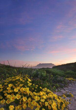 Wild daisies inffront of Table Mountain