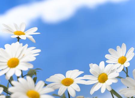 daisys: Daisys in the garden