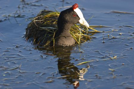 Redknobbed Coot under a blanket of weed