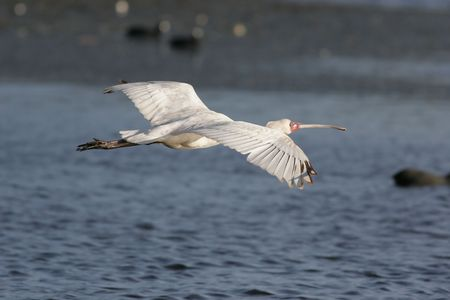 African Spoonbill flying over water. Stock Photo