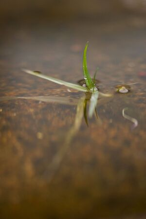 A blabe of grass in water Stock Photo
