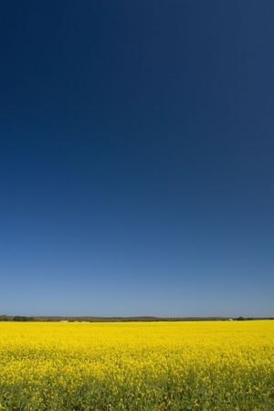 Canola fileds in the Cape, South Africa Stock Photo