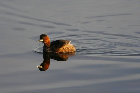 Little Grebe swimming on still water
