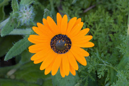 Daisies of the Western Cape
