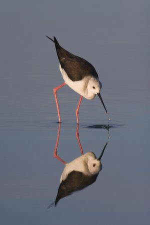 Blackwinged Stilt reflections on still water.