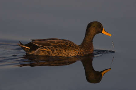 Yellow-billed duck on still water