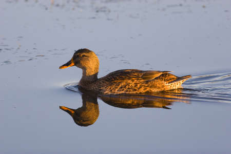 waterweed: A yellow-billed Duck swimming on still water with reflection Stock Photo