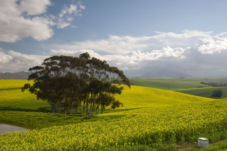 canola: Canola fields of the Western Cape, South Africa