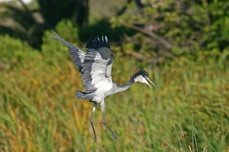Blackheaded Heron about to land amongst reeds
