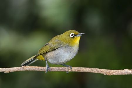 Cape White-eye sitting on a branch