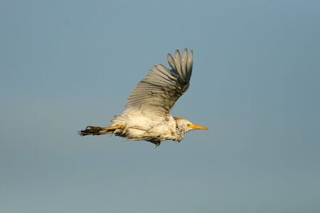 Cattle Egret in flight against a clear blue sky