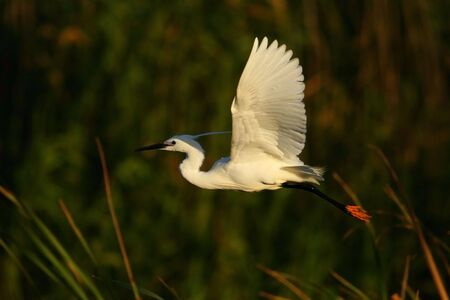 Cattle Egret in flight with a reed backdrop