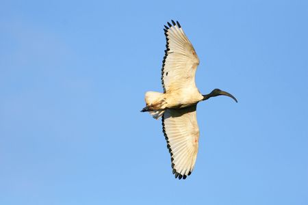 A Sacred Ibis in flight with a clear blue sky background