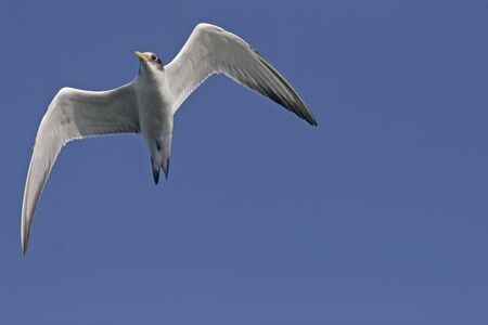 Swift Tern against a clear blue sky