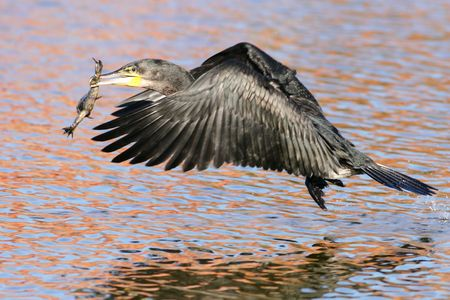 Whitebreasted Cormorant with a frog that it caught photo