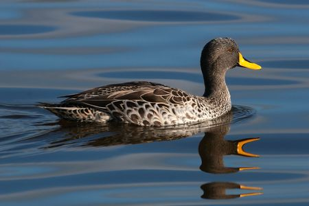 Yellowbilled duck swimming on calm water Stock Photo