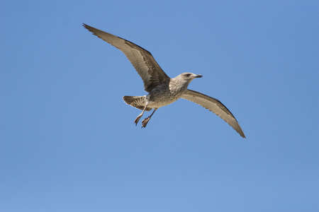 A juvenile Kelp Gull soaring overhead against a blue sky Stock Photo