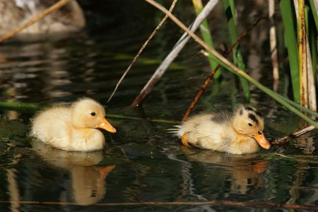 Two duckling swimming in amonst reeds at the waters edge Stock Photo