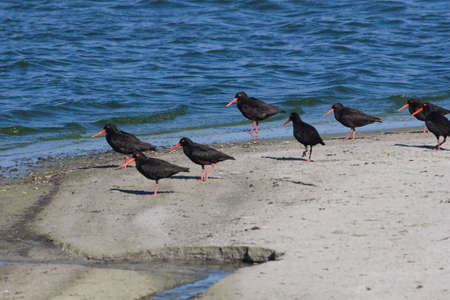 conservationist: African Black Oystercatchers at the edge of a lagoon Stock Photo