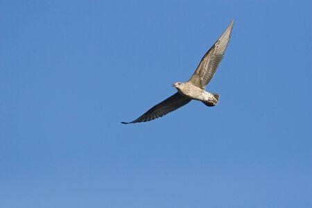 Cape Kelp Gull in flight against a clear blue sky