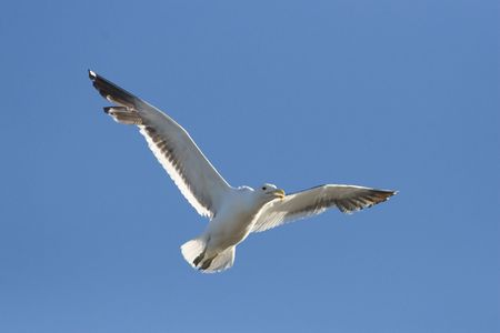 conservationist: Cape Kelp Gull in flight against a clear blue sky
