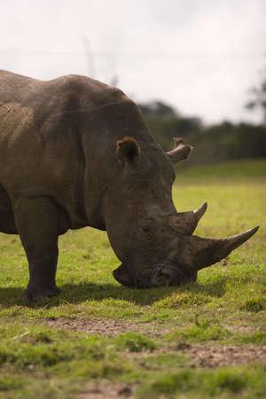 A white rhino grazing on grassland