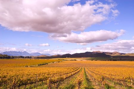 Vineyards near Mc Gregor, Western Cape, South Africa  Stock Photo