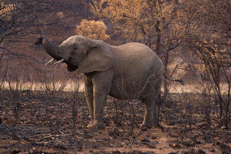 ravaged: Elephants in fire ravaged bush Stock Photo