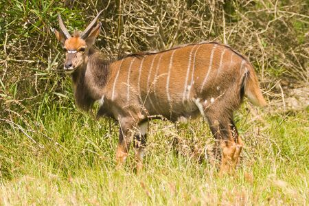 A young Inyala male Stock Photo