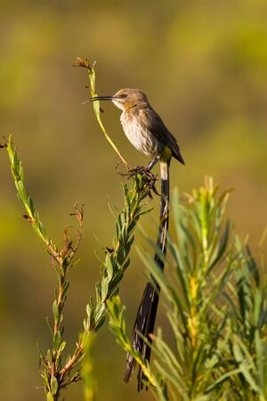 Sugarbird sitting on a branch with an out of focus background Stock Photo