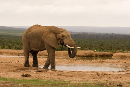 A lone bull elephant drinking at a water hole in Addo Elephant National Park, South Africa Stock Photo