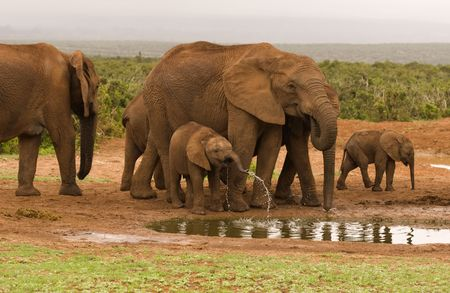 Elephants gathering at a water hole in Addo Elephant National Park, South Africa