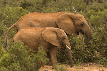 Two elephants in the bush in Addo Elephant National Park South Africa