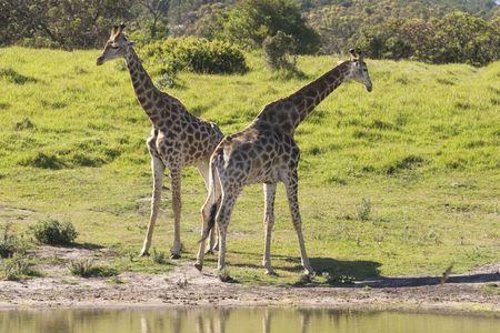 Two young giraffe standing beside a waterhole