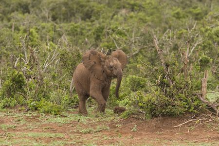 A young elephant running through the bush