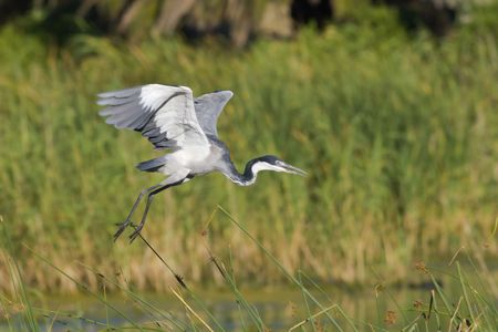 Blackheaded heron taking off  in search of food with blurred reeds in the background Stock Photo
