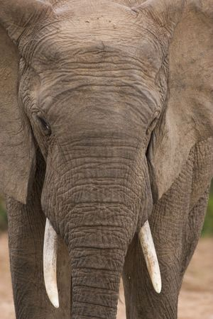 Close up shot of the head of a male African elephant