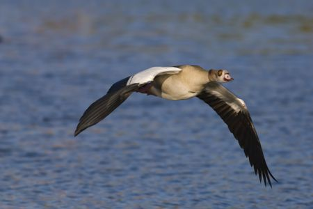Egyptian goose in flight over water Stock Photo - 6449895