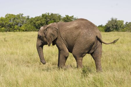African elephant with a backdrop of grassland and bushes