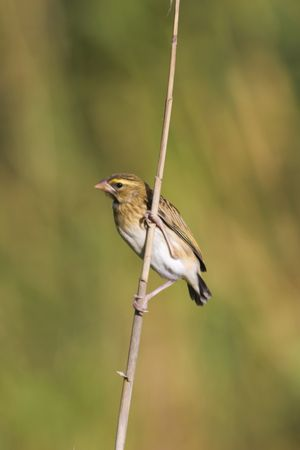 Female Red Bishop in a typical pose perched on a reed with blurred background