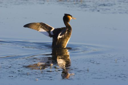 Great Crested Grebe spreading its wings