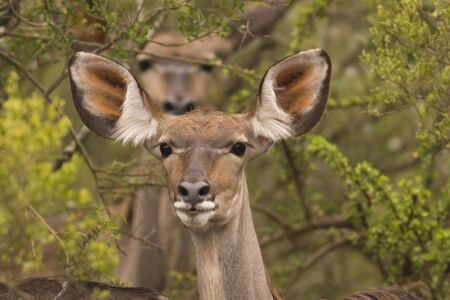 Portrait of a Kudu standing in the bushes Stock Photo