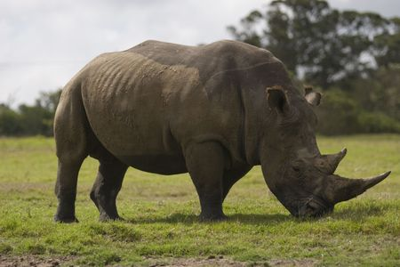 Rhino grazing at a wildlife reserve in South Africa Stock Photo - 6449910