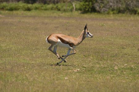 Springbok running on a grassland photo