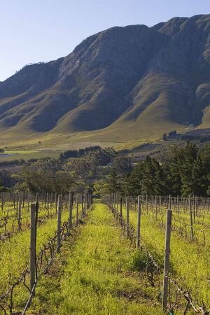 Vineyards on the slopes of the mountain; Hermanus, South Africa Stock Photo
