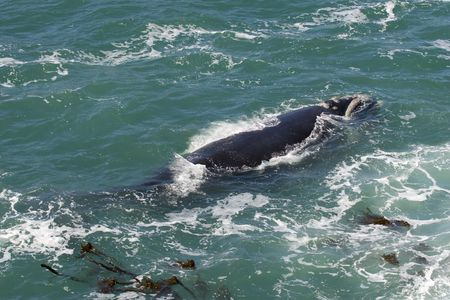 Southern Right whale off the coast of Hermanus; South Africa Stock Photo - 6449936