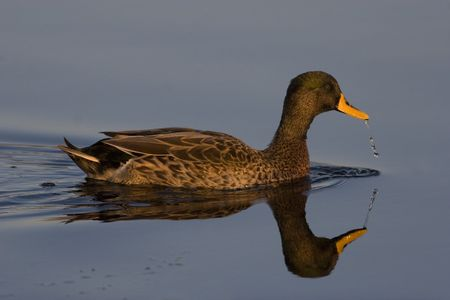 Yellow-billed duck on still water with reflection and water droplets from its beak