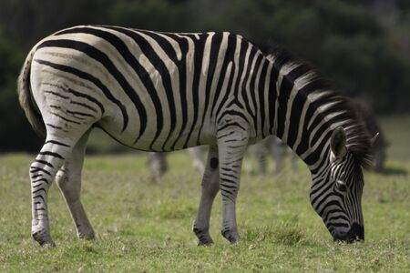 Portrait image of a Zebra grazing in a wildlife reserve in South Africa Stock Photo