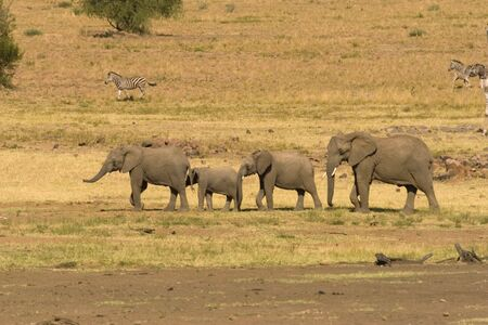 A group of elephants walking across the plains