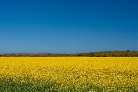 Canola fields in the Western Cape, South Africa Stock Photo